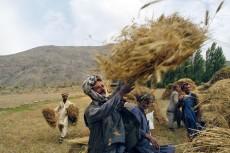 Några jordbrukare hjälps åt att skörda vete i Badakhstan, Afghanistan. UN/Photo, WFP.