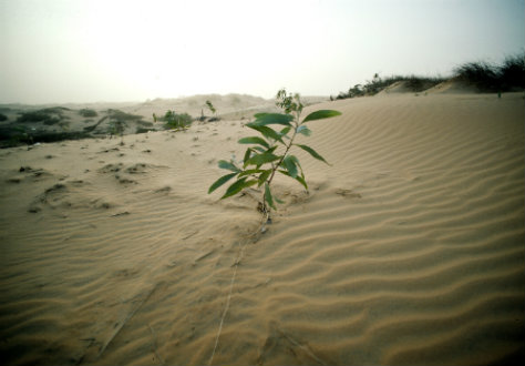 Eucalyptus planta i Lompoul, Senegal. Ett trädplanteringsprojekt, drivet av landets regering i samarbete med UNDP och UNEP, ska hindra öken att ta över bördig mark.